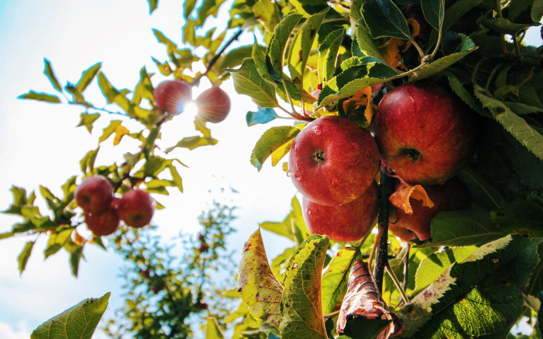 Eighty-Year Decline in Mineral Content of One Medium Apple